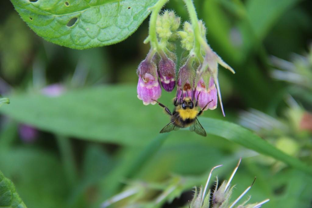 Beinwell Biene