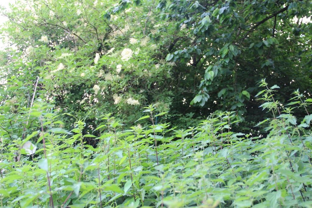 Garten Brennessel